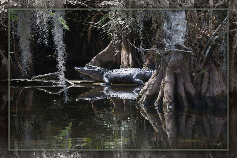 Like a creature lost in time, this alligator suns himself in light filtered through a canopy of moss laden cypress.
