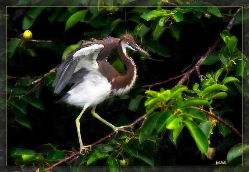 Juvenile Tri-Color Heron (Louisiana Heron) in Pond Apple Tree