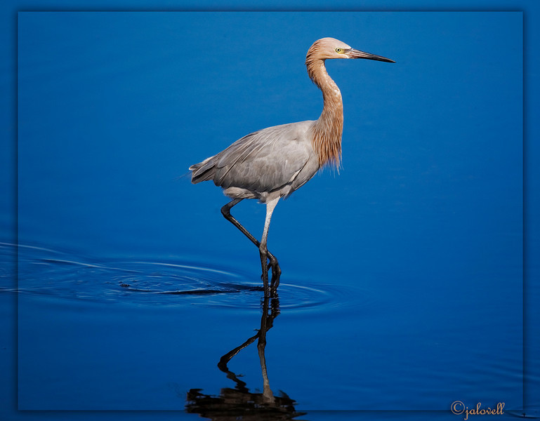 Reddish Egret moved restlessly searching for food at a pond at the MINWR...Titusville, Florida