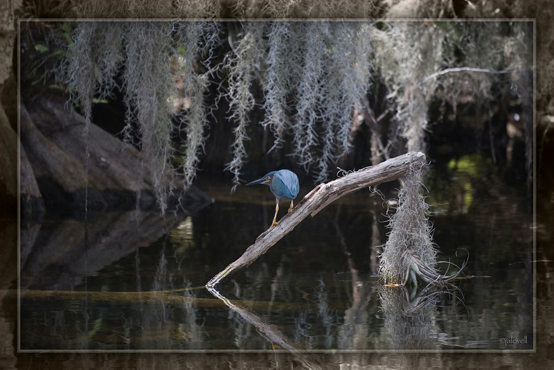 Green Heron: Big Cypress Preserve