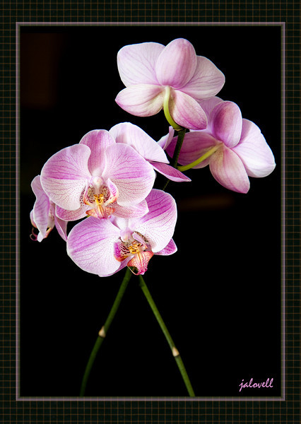 "From Wikipedia:<br /> <br /> ""Phalaenopsis (Blume 1825) is a genus of about 60 species of orchids (family Orchidaceae). The generic name means ""Phalaen[a]-like"" and is probably a reference to the genus Phalaena, the name given by Carolus Linnaeus to a group of large moths; the flowers of some species supposedly resemble moths in flight. For this reason, the species are sometimes called Moth orchids."""