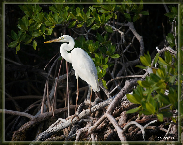 Great White Heron perched amid red mangrove roots, Key Largo near Pennecamp.