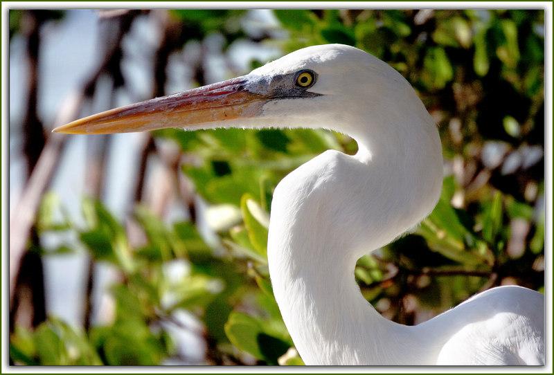 Great White Heron Face...Key Largo, Florida