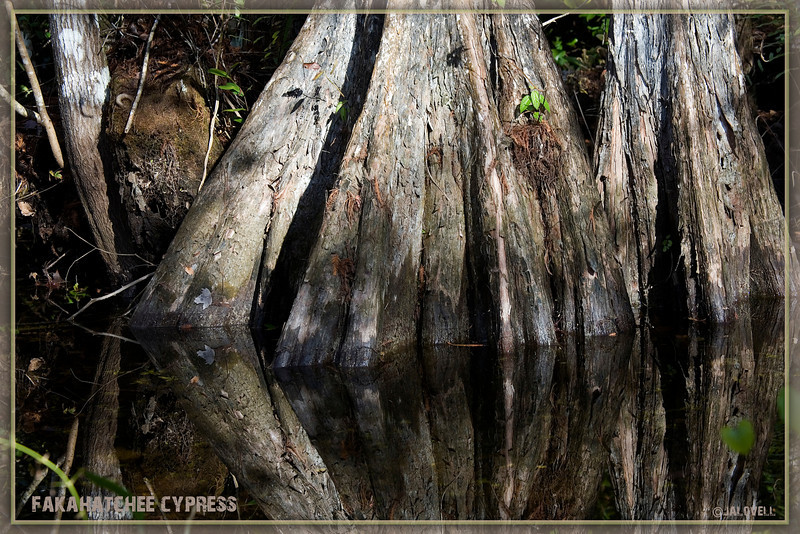 Fakahatchee Strand Cypress Trees -The swamp is alive with the textures and colors of the earth. Everywhere light filters through and clear waters mirror life!