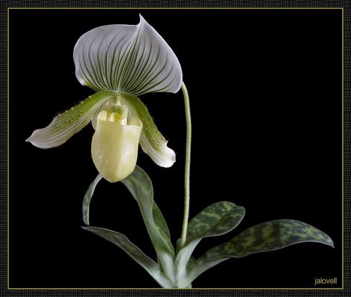 Paphiopedilum Alma Gavaert: Lady Slipper Orchid