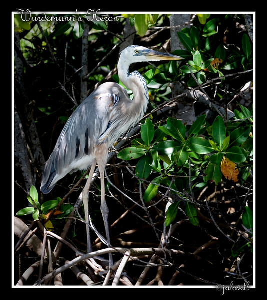 Wurdemann's Heron amongst the mangroves...Flamingo, Florida