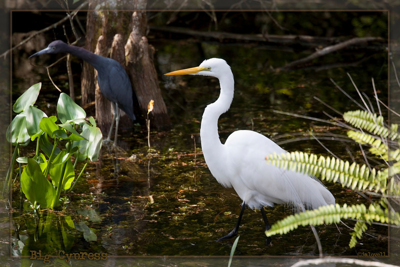 Big Cypress Preserve - Sweetwater Strand: A White Egret marches past a Little Blue Heron intent on searching the pond for food.