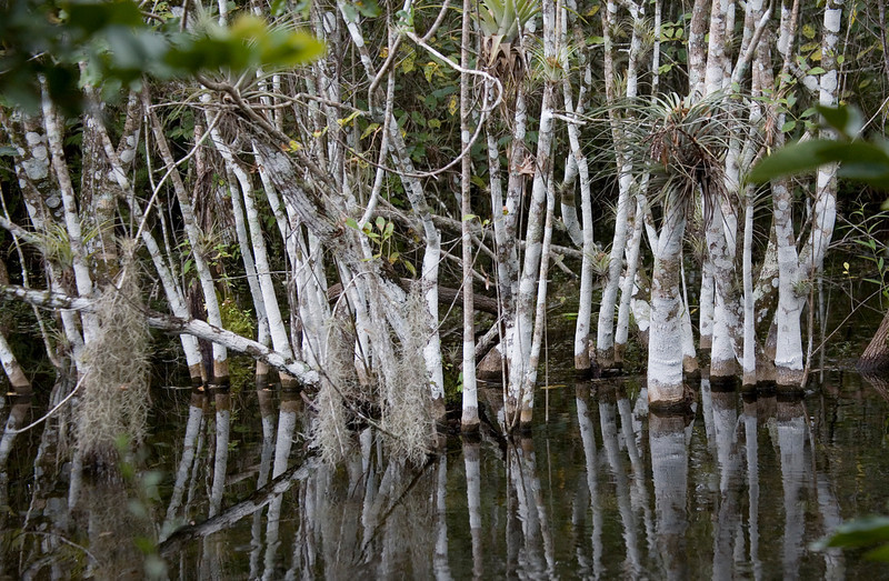 Big Cypress Swamp-stand of trees covered with lichen