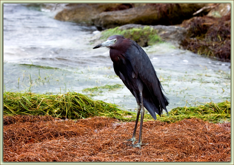Little Blue Heron: At the shoreline of Kelly Park in Merritt Island, Florida