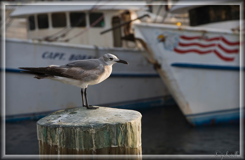 A Sea Gull watches the sun go down at Stock Island near Key West. The marina has a working fleet of quaint shrimp boats and a very good restaurant called the Hogfish Grill.