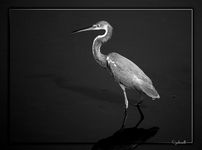 Black and White version of the Louisiana Heron or Tri-Color Heron...Black Point  Wildlife Drive, Merritt Island National Wildlife Refuge