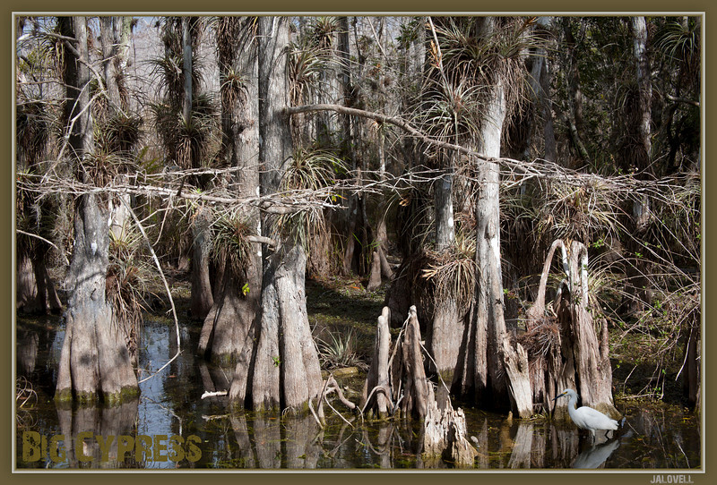 Big Cypress Preserve - Snowy Egret wanders the tangled backdrop of this cypress forest domain