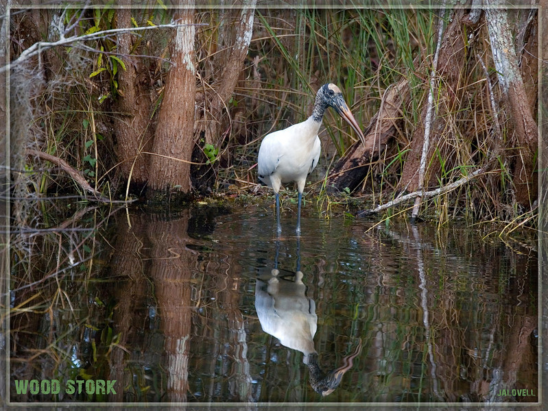 Wood Storks remain one of my favourites. Love 'Old Flinthead'!! A recent radio program on the glades mentioned that the wood stork population had increased 1800 percent..which is a tremendous thing if so!!