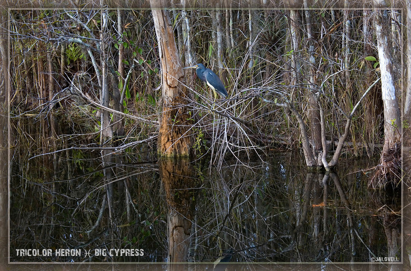 Dusk falls on Big Cypress and its wildlife such as the Louisiana/Tricolor Heron pictured here...dark waters reflect the tangle of branches.
