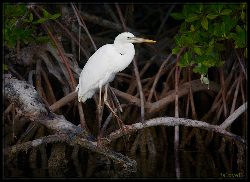 Great White Heron perched on the prop roots of red mangroves, Key Largo near Pennecamp.