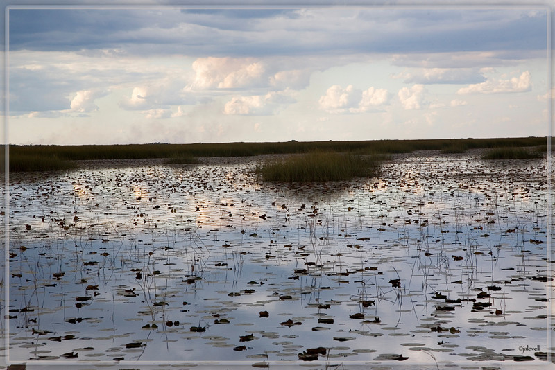 Late afternoon in the Big Cypress Wetlands. Water mirrors the cloudy sky interrupted by floating lily pads and marsh grasses.