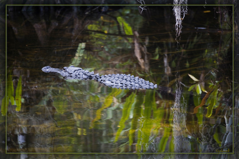Alligator in the Big Cypress Swamp glides amid reflections of ferns and Spanish Moss