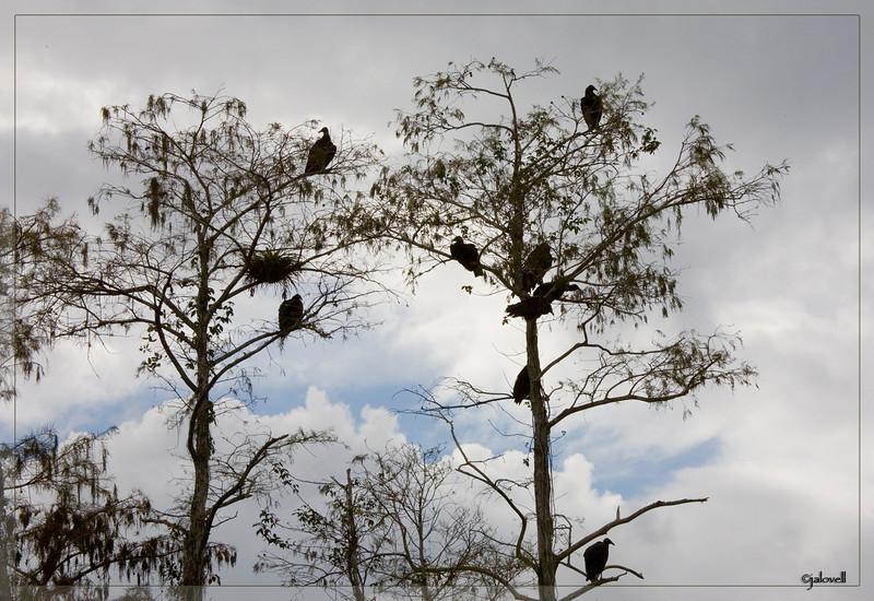 Black Vultures atop cypress trees..Big Cypress.