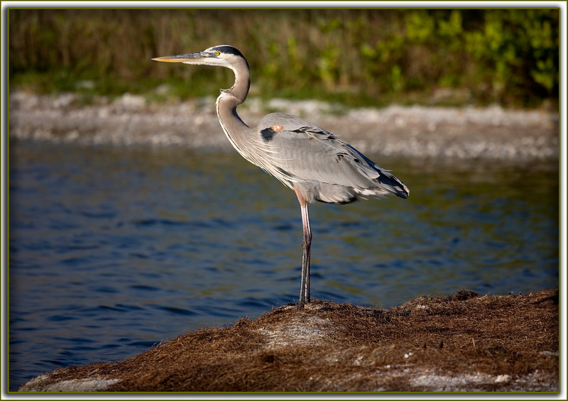 Great Blue Heron gazing out into the Banana River on a gusty day.....Merritt Island, Florida