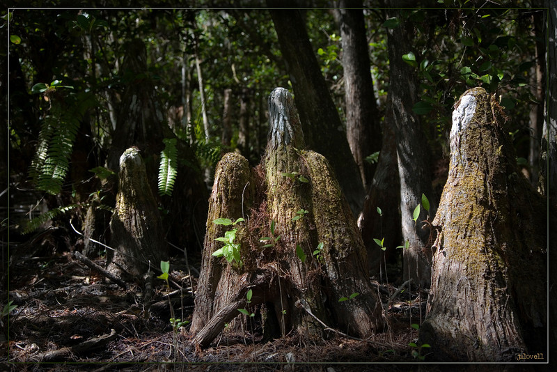 Always an evocative sight, cypress knees and the rich earthy tones of the Big Cypress Preserve!