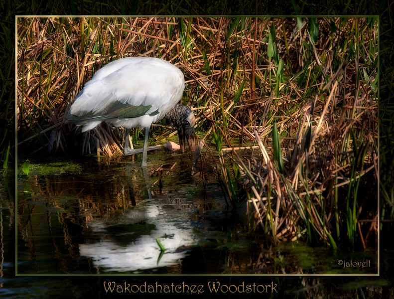 Wakodahatchee Wetlands, Delray, FL - Woodstork swishes the water to stir up a meal with one foot while probing with his bill. Black feathers take on an iridescent scheen in the afternoon sunlight.