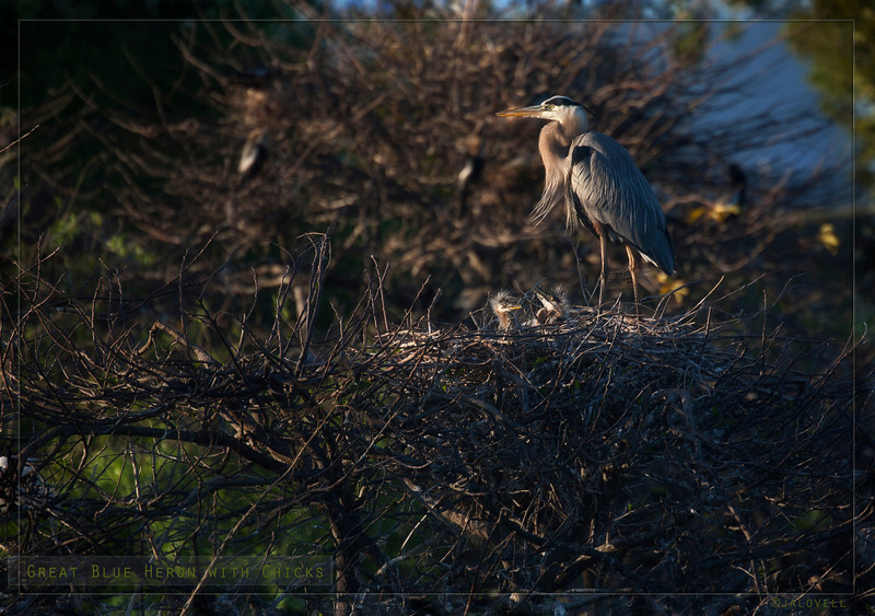 Great Blue Heron atop its nest while young uns clamber for attention. The Wakodahatchee Wetland's boardwalk winds around several nesting clusters. As the sun descends the little ones create quite a cacophony as their spiky little hairdos appear above the rim of the nest. Even as young as they are they look much like their parents!