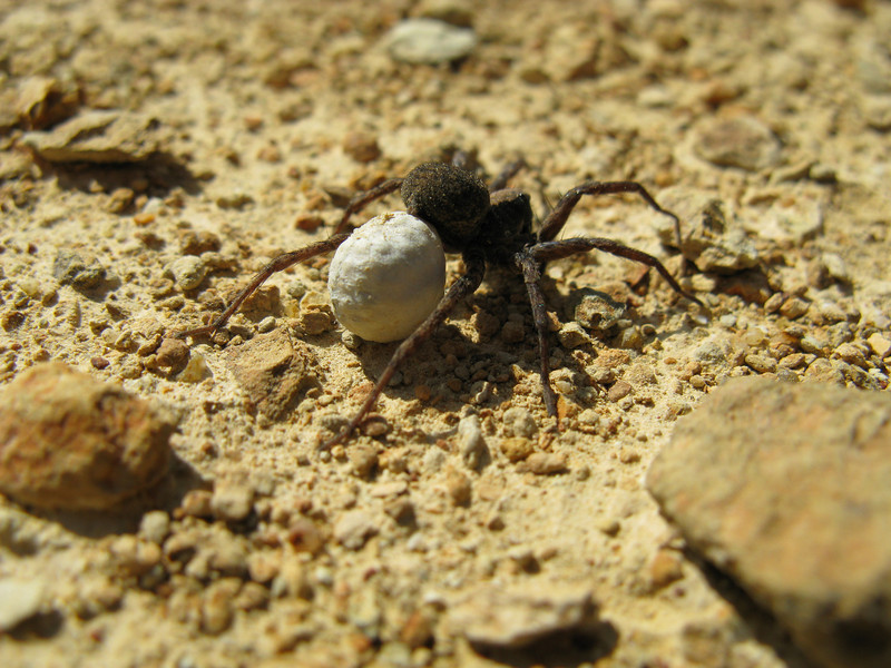 A spider and her egg sac.