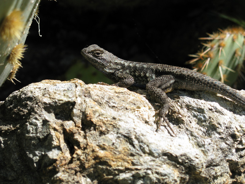 A lizard in the Stanford Cactus Garden.