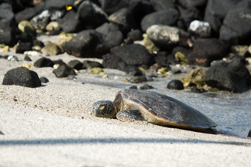 Sea turtles crawl on shore to catch some rays