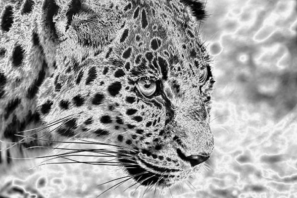 Chromed Leopard