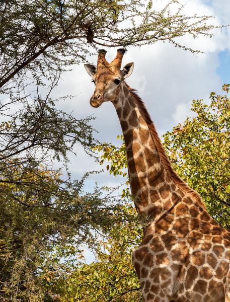 Giraffe thinking it over!