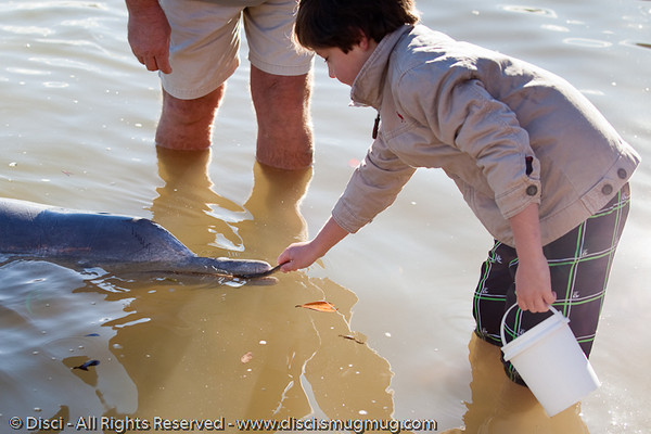 Dolphin Feeding at Tin Can Bay, adjacent to Rainbow Beach, Queensland, Australia; June 2010