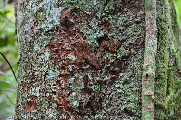 Lichen - Noosa National Park, Sunshine Coast, Queensland, Australia; 13 July 2010.