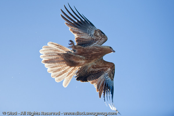 Whistling Kite over Tin Can Bay, adjacent to Rainbow Beach, Queensland, Australia; June 2010  - (Haliastur sphenurus)