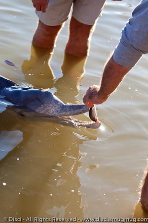Dolphin Feeding at Tin Can Bay, adjacent to Rainbow Beach, Queensland, Australia; June 2010