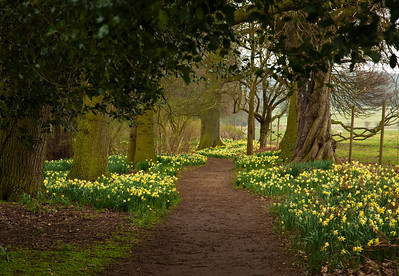 lovely walks through the daffs