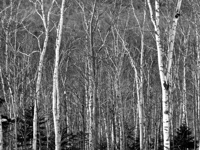 Sugarloaf Birches