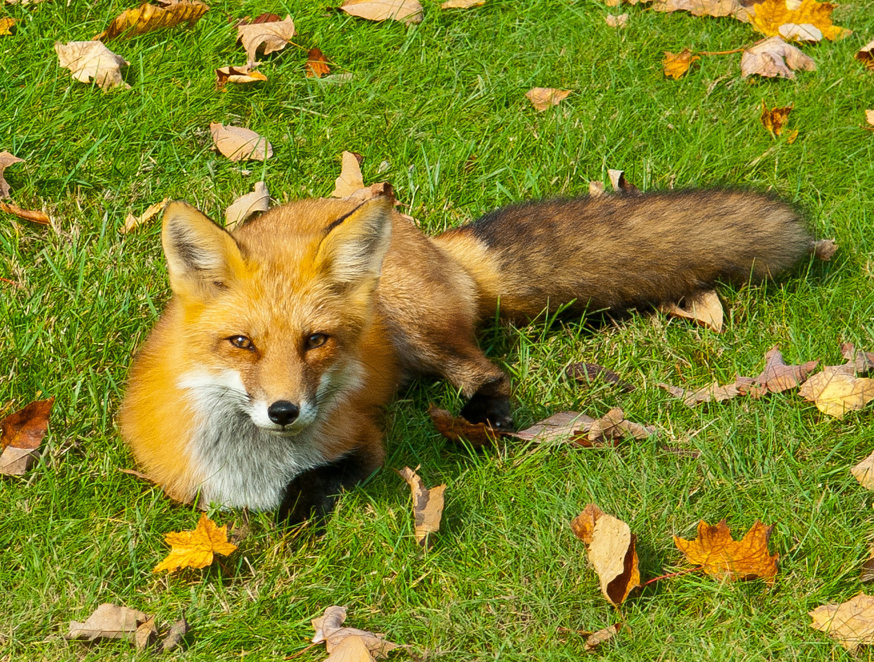 Sugarloaf Fox