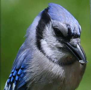 bluejay ready to eat a seed
