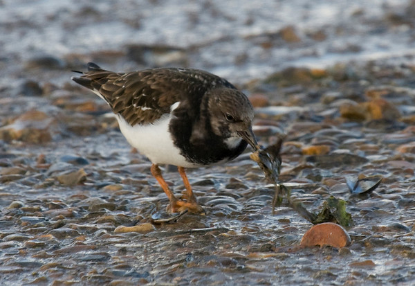 turnstone - taken on the Norfolk coast