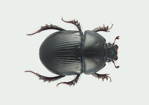 Tordivel (Geotrupes spiniger)