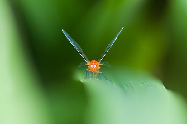 Hemiptera fra Benin