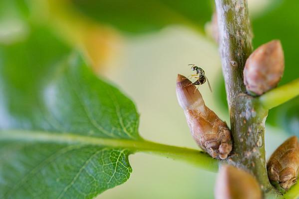 Parasitt på gallveps
