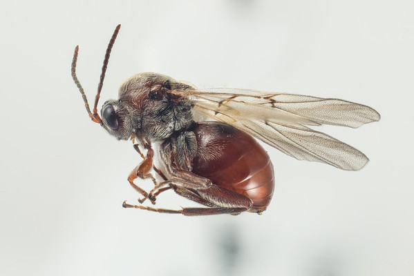 Gallveps (Andricus testaceipes)