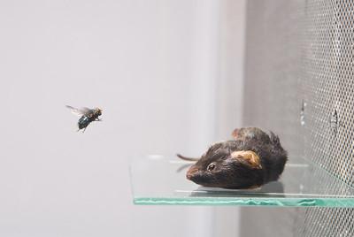 Luktforsøk på spyfluer