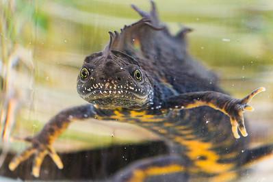 Stor salamander