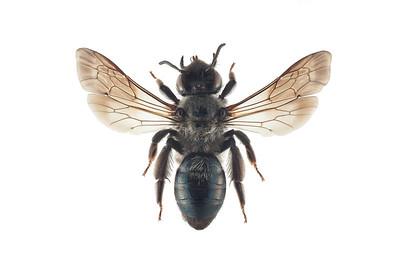Sotsandbie (Andrena nigrospina)