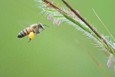 Honningbie fra Benin (Apis sp.)