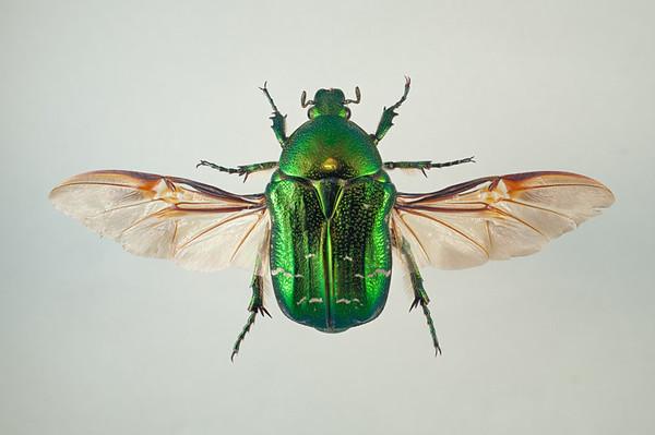 Gullbasse (Cetonia aurata)