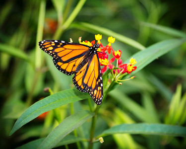 Monarch and Tropical Milkweed